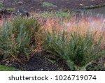 Cornus Sanguinea  Common...