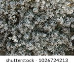 licorice plant with gray leaves. | Shutterstock . vector #1026724213