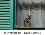 bald hairless sphinx cat ... | Shutterstock . vector #1026738418