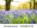 A Carpet Of Bluebells In The...
