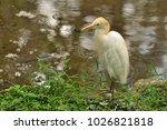 the eastern great egret  ardea...   Shutterstock . vector #1026821818