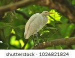 the eastern great egret  ardea...   Shutterstock . vector #1026821824