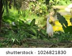the eastern great egret  ardea...   Shutterstock . vector #1026821830