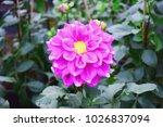 beautiful pink dahlia fresh...   Shutterstock . vector #1026837094
