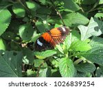 heliconius melpomene malleti ...   Shutterstock . vector #1026839254