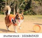 beautiful shetland sheepdog... | Shutterstock . vector #1026865420