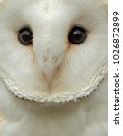 Owl Barn Owl Owl Close Up