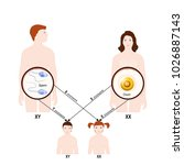 genetic inheritance. sex... | Shutterstock .eps vector #1026887143