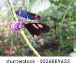 heliconius erato cyrbia in the... | Shutterstock . vector #1026889633