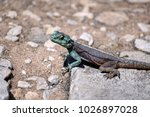 Small photo of Southern rock agama (Agama atra) lizard on Table Mountain, in Cape Town, South Africa