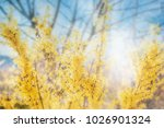 Forsythia Flowers In Front Of...