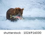 american brown bear grizzly...   Shutterstock . vector #1026916030