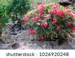 blooming bougainvillea. magenta ...   Shutterstock . vector #1026920248