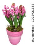 hyacinth full of pink flowers ...   Shutterstock . vector #1026921856