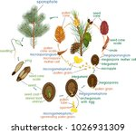 life cycle of pine tree ... | Shutterstock .eps vector #1026931309