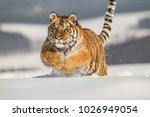 siberian tiger  panthera tigris ... | Shutterstock . vector #1026949054