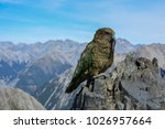Small photo of a kea parrot in the kea parrot in the southern alps of new zealand