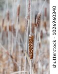 A Cattail Partially Frozen On...