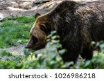 brown bears are one of the...   Shutterstock . vector #1026986218