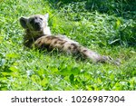 the spotted hyena is a highly...   Shutterstock . vector #1026987304