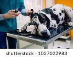 Great Dane At Veterinary.