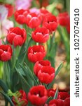 red tulips  tulipa  form a... | Shutterstock . vector #1027074010