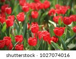 red tulips  tulipa  form a... | Shutterstock . vector #1027074016