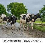 frisian dairy cows crossing a... | Shutterstock . vector #1027077640