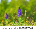 purple large leaved lupin ... | Shutterstock . vector #1027077844