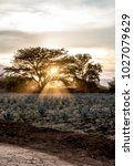 sunset in the agave fields  the ... | Shutterstock . vector #1027079629