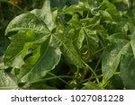 green fresh cotton leaves on... | Shutterstock . vector #1027081228