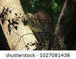leopards in thung yai huai kha... | Shutterstock . vector #1027081438