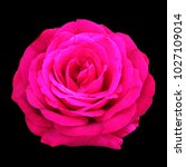 Stock photo romance pink rose flower on isolated black background with saved clipping path 1027109014