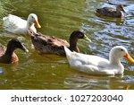goose in pond | Shutterstock . vector #1027203040