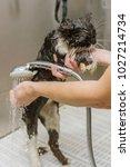 professional cat grooming in... | Shutterstock . vector #1027214734