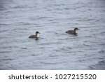 red necked grebe  podiceps... | Shutterstock . vector #1027215520
