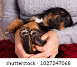 baby puppy paw in female hands   Shutterstock . vector #1027247068