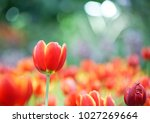 close up beautiful spring red... | Shutterstock . vector #1027269664