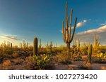 saguaros at sunset in saguaro... | Shutterstock . vector #1027273420