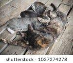 kittens suckling mother cat   Shutterstock . vector #1027274278