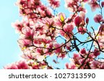 the pink magnolia flowers on a... | Shutterstock . vector #1027313590