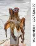 Small photo of SEA ANIMALS, THE OCTOPUS