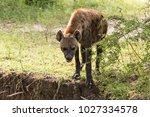 hyena in selous game reserve ... | Shutterstock . vector #1027334578