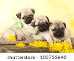 Stock photo pug puppy and spring dandelions flowers 102733640