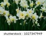 white daffodils flowers.... | Shutterstock . vector #1027347949