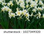 daffodils flowers field.... | Shutterstock . vector #1027349320