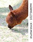 Brown Llama On A Farm Grazing...