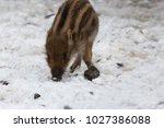 baby boar in the snowy forest.   Shutterstock . vector #1027386088