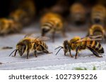 Honey Bees At Coming And Going...