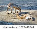 The Patagonian Mara Is A...
